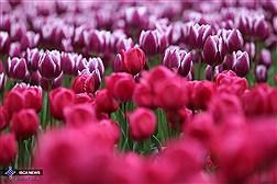 جشنواره گلهای پیازی در پارک ملت مشهد