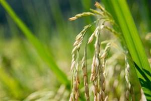 دستکاری ژنوم گیاه برنج برای افزودن ویتامین A با استفاده از CRISPR-Cas۹