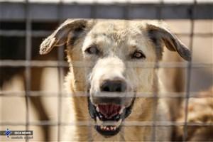 سگها برای شناسایی بیماران مبتلا به کرونا آموزش می بینند
