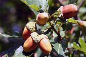 درمانهای زیستی برای تسکین درد جنگلهای بلوط