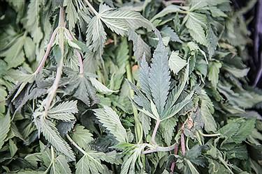 گیاه ماری جوانا که از آن مواد مخدر به دست میاد